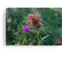 The Spear Thistle Canvas Print