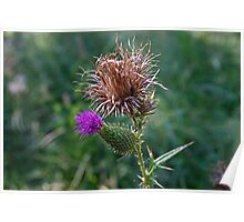 The Spear Thistle Poster