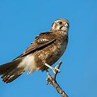 Brown Falcon. by James Peake Nature Photography.