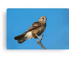 Brown Falcon. Canvas Print