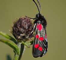 5 Spot Burnet Moth by Heidi Stewart