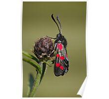 5 Spot Burnet Moth Poster