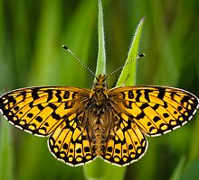 Small Pearl Bordered Fritillary by Heidi Stewart