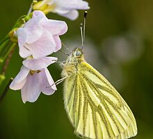 Green Veined White Butterfly on Cuckoo Flower by Heidi Stewart