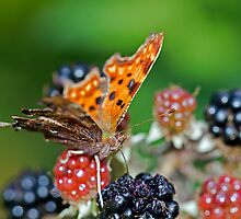 Comma Butterfly by GrahamWhite