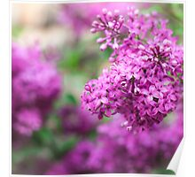 Purple Lilac Bush Poster