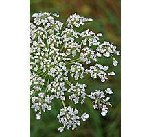 Single White Wildflower Photographic Print