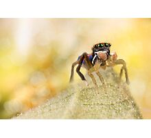 'Male peacock Jumping Spider' Photographic Print