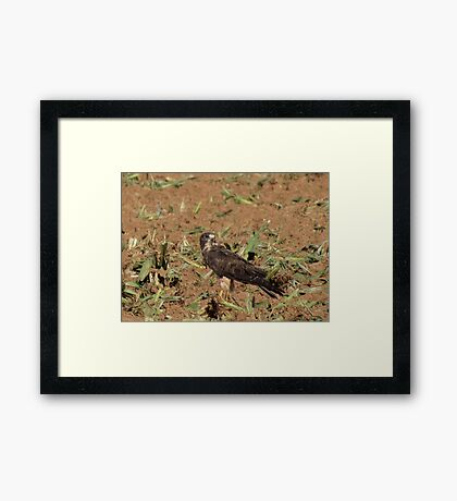 Swainson's Hawk ~ Field Feast Framed Print