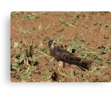 Swainson's Hawk ~ Field Feast Canvas Print