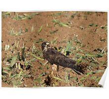 Swainson's Hawk ~ Field Feast Poster