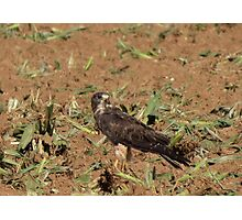 Swainson's Hawk ~ Field Feast Photographic Print