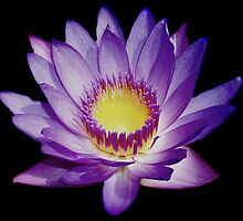Water Lily on Black by Candi  Leigh Photography