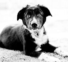 Welsh Border Collie Puppy by Melsonbyuk