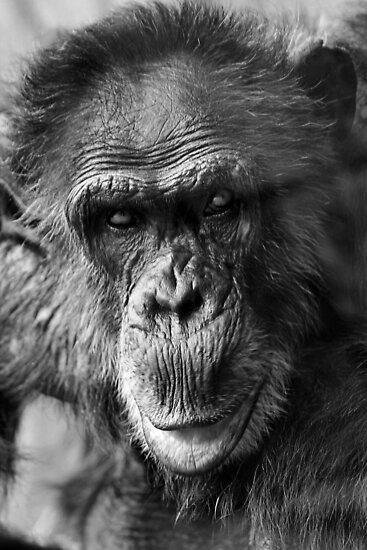 Chimpanzee by SuddenJim