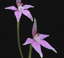 Pink fairy orchids by wrighty