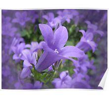 Lilac Lobelia Poster