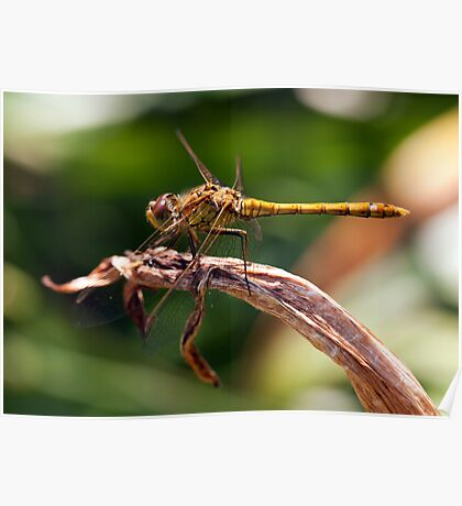 Macro Image of a Dragonfly Poster