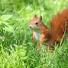 Red Squirrel by Mark Hughes