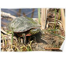 Painted Turtle Standing in a Marsh Poster