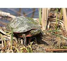Painted Turtle Standing in a Marsh Photographic Print