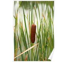 Cattail in a Marsh Poster