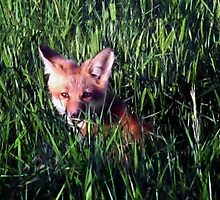 Fox in the Grass by Nazareth