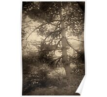 Pine tree in sepia tone Poster