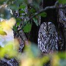 Tawny Owl by Remo Savisaar