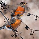 American Robins by Michael Cummings