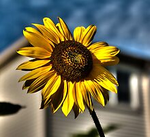 Sunflower #2 by Yair Sakols
