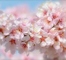 Spring Blossoms 1 by Alison Hill
