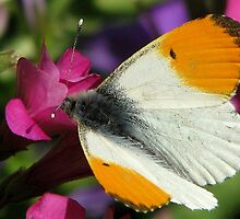 Orange Tip (Anthocharis cardamines) by Neville Hawkins