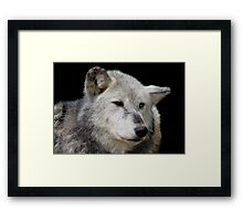 Grey Wolf Close-Up (Canis lupus) Framed Print