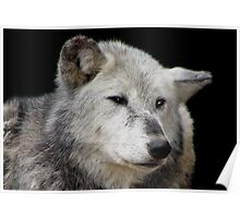 Grey Wolf Close-Up (Canis lupus) Poster