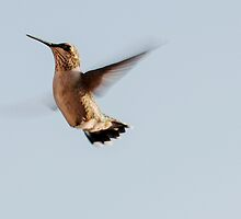 How to tell the male from female Hummers.  by barnsis