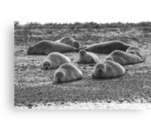 Seals on Blakeney Point Canvas Print