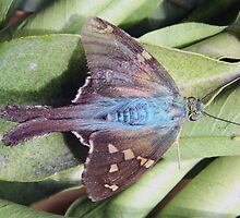 Long Tailed Skipper Butterfly on a Leaf by rhamm