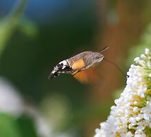 Humming Bird Moth 3 by redleg