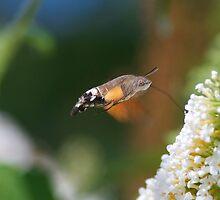 Humming Bird Moth 3 by Thomas Gelder