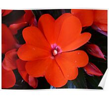 RED IMPATIENS 01 Poster
