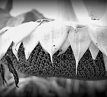 Dying Sunflower by Debbie  Maglothin