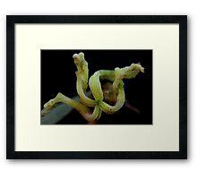 Petalostigma triloculare Framed Print