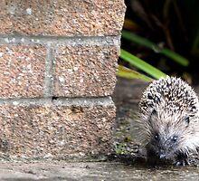 Garden hedgehog by nadine henley