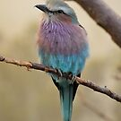 Lilac Breasted Roller by Dorothy Thomson