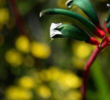 Kangaroo paw by nadine henley