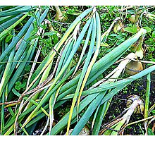 Organic Onions Ready To Be Harvested Photographic Print