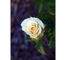 Light yellow rose Photographic Print