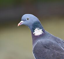 Wood Pigeon by naturalnomad