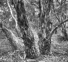 Manna Gums. by Bette Devine